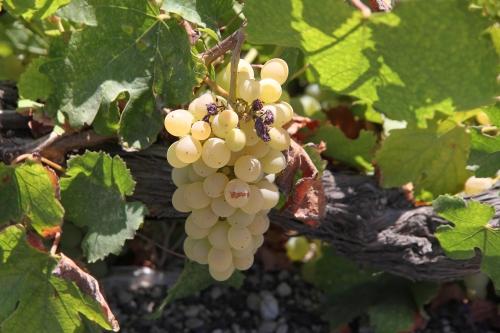 Le renouveau du vin à Santorin