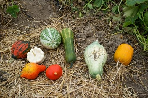 ferme du maustichi,fête du potiron,potirons,épicerie bio,ferme bio,ferme hainaut
