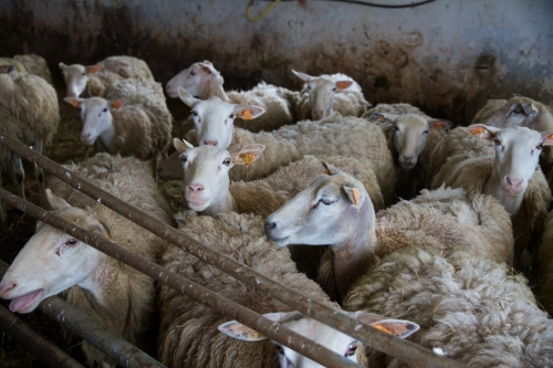 agneau bio,ovidis,agneau gaume,alexandre dupont,agneau delhaize