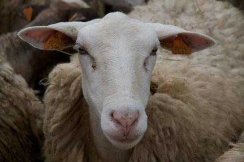 La filière Ovidis, des agneaux bio chez Delhaize