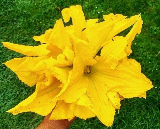 Beignets de fleurs de courgettes de mon enfance
